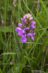 Early Marsh Orchid